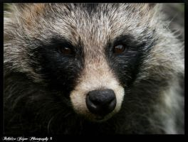 Racoon Dog by gingersnap16