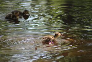 Duckling8 by eillahwolf
