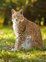 European Lynx Portrait by Lupinicious