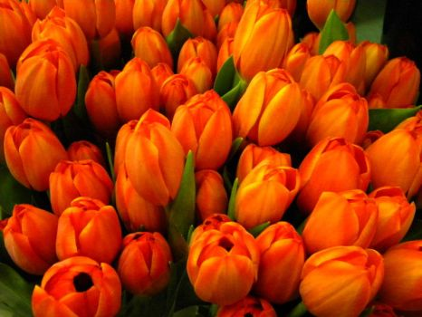 Tulips of Spring by deep-south-mele
