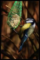 blue tit by netbandit