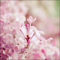 Sweet Lilac Scent by onixa