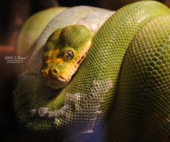 Green Tree Python by Cassy-Blue