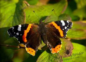 The Red Admiral - Vanessa atalanta by TheFunnySpider