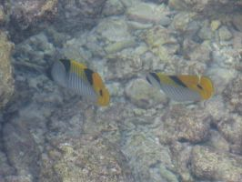 Butterfly Fish by ShirinGarou