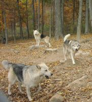 Wolf Pack 01 by Della-Stock