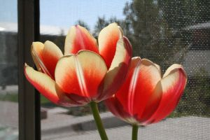 More Tulips Again Again by EndlessSunshine
