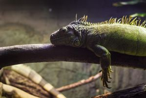 Lizard at London Zoo by uglyogre