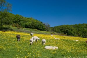 English Summer with Alpacas by horai
