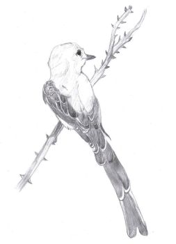 Scissor tail flycatcher by Miss-FireStar