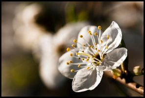 036-365 Blossoming White by mr-MINTJAM