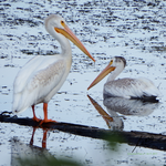 Pelicans of Williams Lake by Sybaristail