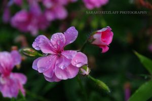 Amazing Pink Flower and Drops by SarahDank