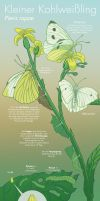 Info Graphic: Cabbage White Butterfly by Antihelios