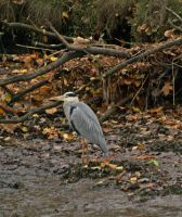 Camouflaged heron by piglet365
