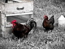 Red Rooster by slcrawford