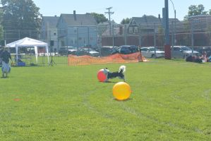 2014 Dog Festival, Treiball Session 6 by Miss-Tbones