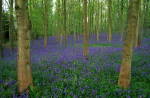 Bluebells in Cotswolds cont... by O-Gosh