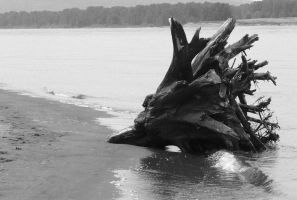 Tree Stump On Columbia River by PamplemousseCeil