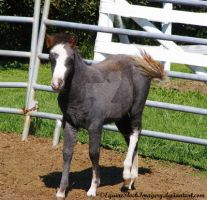 Miniature Horse 9 by EquineStockImagery