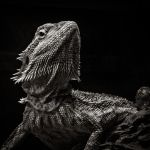 Bearded Dragon Portrait by vamosver
