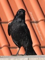 crow 18 by peroni68