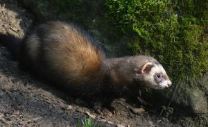 Ferret II by Parides