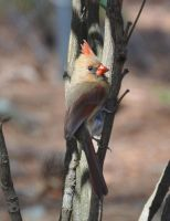 Female Cardinal 4-11-12 by Tailgun2009
