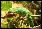 Chameleon II by TVD-Photography