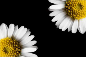 daisies by Lisa-M-T