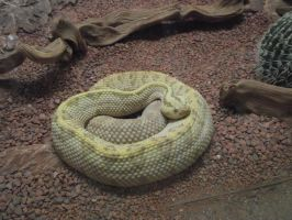 Neotropical Rattlesnake by IcejCat