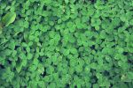 Clovers by Mifti-Stock