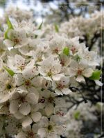 Pear Blossoms by Asura-Valkyrie