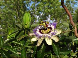 Blue Passion Flower by Escara40