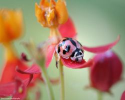 Ladybug by loneoceans