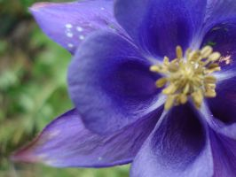 Violet flower by Layee23