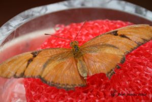 Orange Butterfly 3 by jjhale78