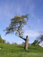 Tree in Summer 7 by archaeopteryx-stocks