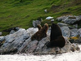 South American Sea Lion by Wildfire47