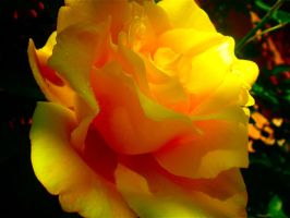 Red Yellow Rose by dauntlesschick