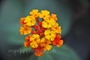 Yellow and Red Flower by vstary