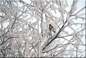 Arctic Redpoll by Ryoo-09