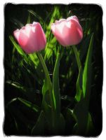 Twin Tulips by MuseSusan