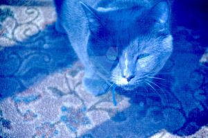 Russian Blue by AmberPalette