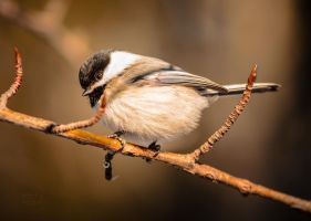 Chickadee - Bright Eyes by JestePhotography