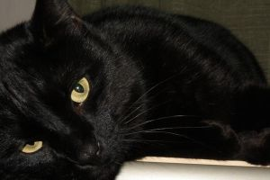 Black cat stock 2 by asphyxiate-Stock