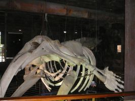 Southern Right Whale Skeleton 1 by Confussed-Stock