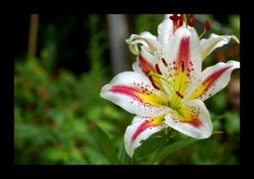 Asian Lily 6 by cloudofstrife