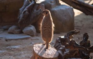 Holy Meerkat by Sato-photography