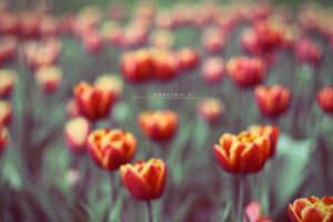 Tulip Meadow by Paulinaz